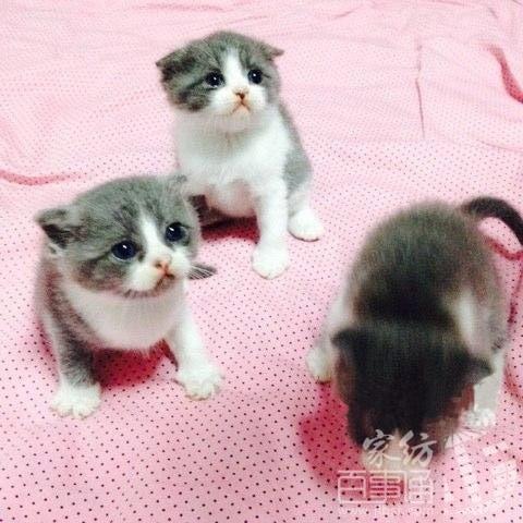 八月一号出世,三只小蓝猫活泼可爱,现承受预订 相关图片 信息评论